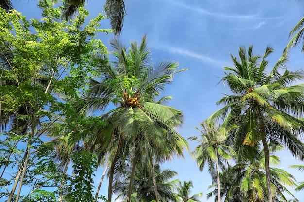 Vista di bellissime palme tropicali contro il cielo blu