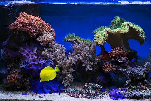 Vista al bellissimo pesce acquario di acqua salata zebrasoma