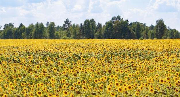 Vista del campo fiorito di girasoli con alberi in molto più nuvoloso cielo blu entro l'estate.