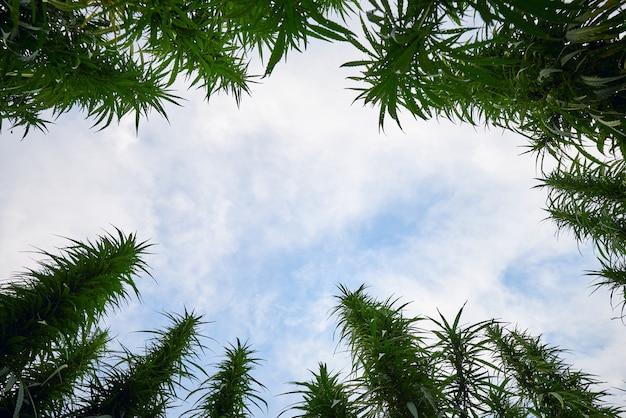 Vista del cielo azzurro attraverso alte piante di marijuana di cannabis verde dal basso verso l'alto