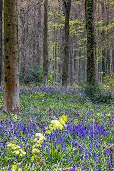 Vista delle bluebells che emergono a wepham wood