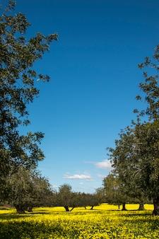 Vista di un frutteto dell'albero di carruba in un campo di fiori gialli nella campagna del portogallo.