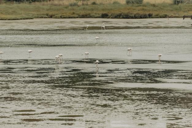 Vista del gregge di fenicotteri che riposa in piedi nell'acqua, in portogallo.