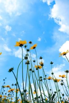 Vista dal fiore del sole inferiore con un bellissimo sfondo azzurro del cielo Foto Premium