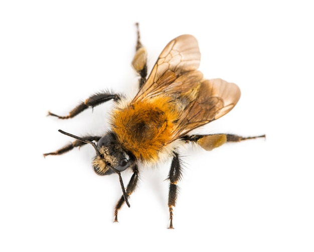 Vista dall'alto di un'ape europea del miele