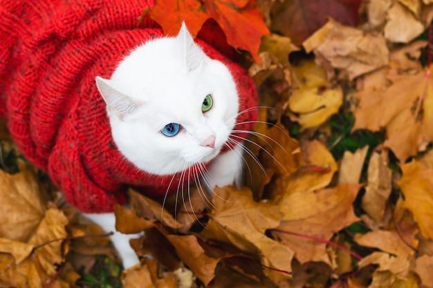 Vista dall'alto. gatto bianco, occhi multicolori. razza angora. si siede tra il fogliame del parco in una giornata autunnale. animale in un maglione per strada. l'animale gioca in acero rosso e giallo.