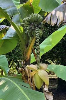 Vista del banano verde nel primo piano della foresta pluviale