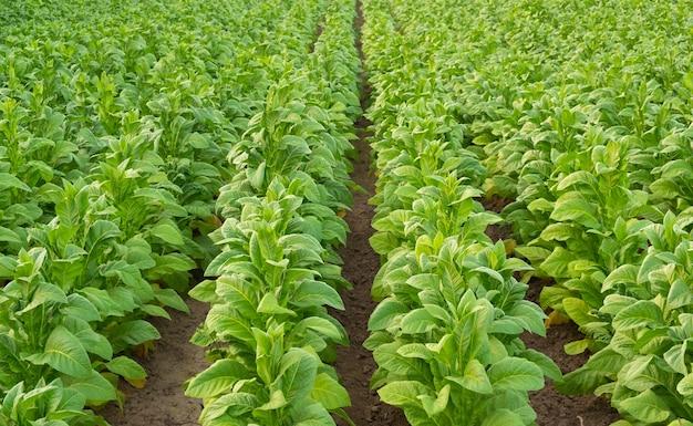 Vista della pianta di tabacco verde in campo a chiang rai, thailandia.piantagione di tabacco in asia.