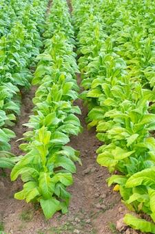 Vista della pianta di tabacco verde in campo a chiang rai, thailandia.piantagioni di tabacco in asia.