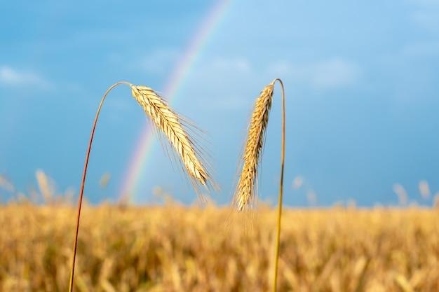 Una vista del paesaggio con un arcobaleno e un campo di grano in primo piano alcune spighette di grano dorato