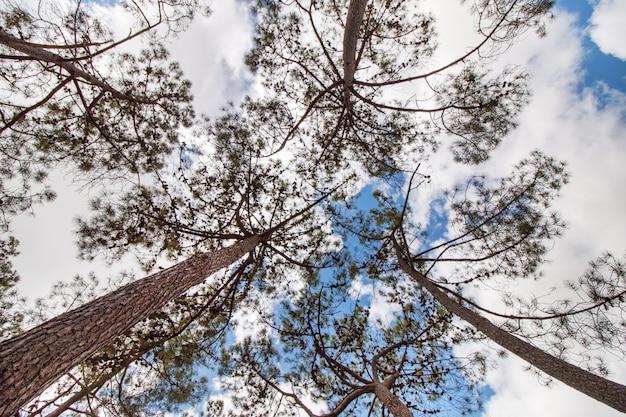 Vista dell'albero pinus pinaster con rami sopra un cielo blu con nuvole bianche.