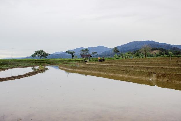 Vista delle riflessioni sui campi di riso con un cielo limpido e bianco quando piove durante il giorno nel nord bengkulu, indonesia