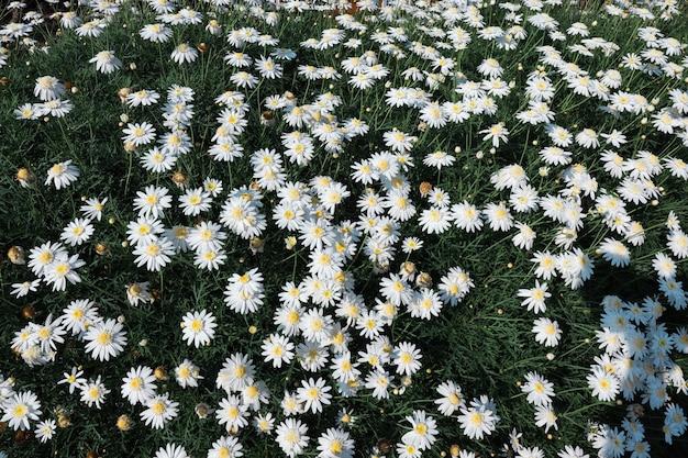Vista dall'alto di un campo di fiori di margherite in un prato primaverile estivo