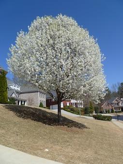 Vista di un albero bianco in un condominio a suwanee, usa.