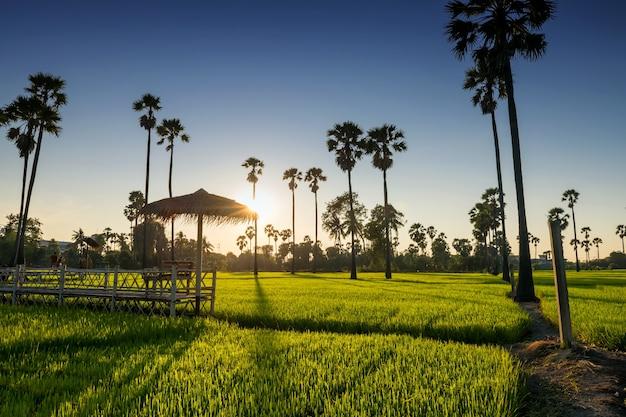 Punto di vista sedili in legno con ombrellone al sentiero lungo la risaia e la palma da zucchero prima del tramonto