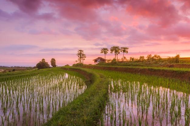 Viste dei campi di riso appena piantati con riso verde e un riflesso di un tramonto rosso acceso nel nord bengkulu, indonesia