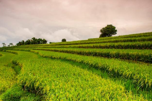 Vista sulle risaie al mattino e sulla bellezza della natura