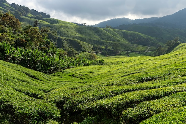 Viste della piantagione di tè nelle cameron highlands