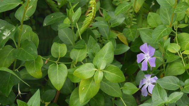Vinca deicate fiore lilla fiore. primo piano botanico naturale sullo sfondo. fioritura malva di fiori selvatici pervinca nel giardino mattutino di primavera, giardinaggio ornamentale in california, stati uniti d'america. flora viola di primavera.