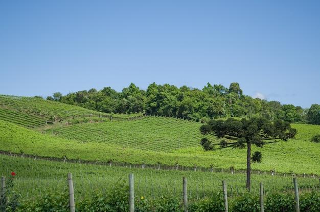 Vigneto d'uva in brasile