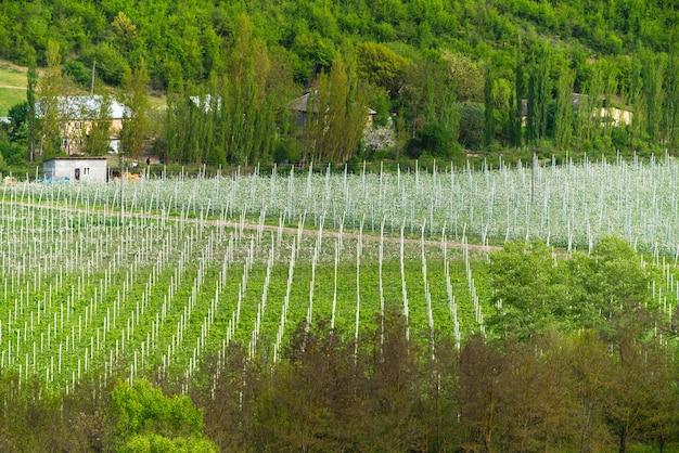 Paesaggio della piantagione di vigneti. terreno agricolo