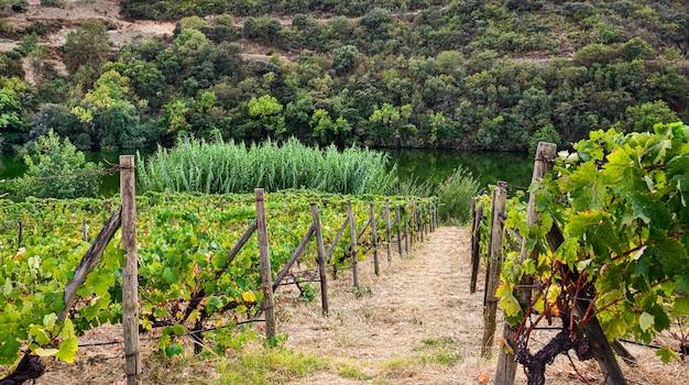 Vigneto con percorso in riva al fiume, concetto agricolo