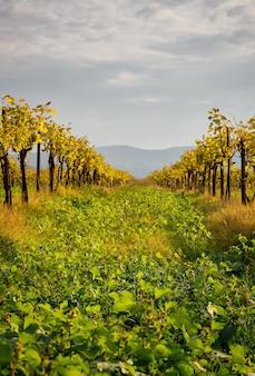 Vigneti in autunno, regione del caucaso settentrionale. foglie d'oro sulla vite, vista sulle colline. scenario