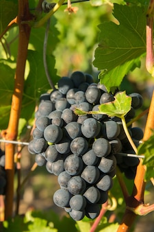 Vigneti in vendemmia estiva. grandi grappoli di uva da vino rosso con tempo soleggiato.