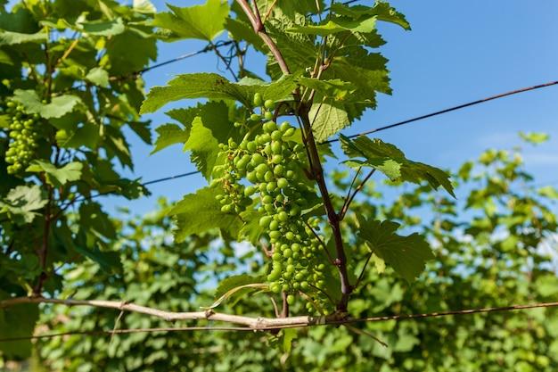 Vigneti dell'area vinicola della georgia kakheti, vigneti di kvareli vicino alla catena montuosa del caucaso. vigneti nella regione di kakheti, georgia, caucaso