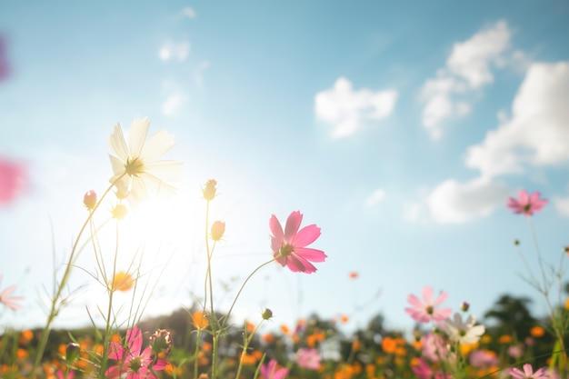 Campo di fiore del cosmo del filtro di colore dell'annata.