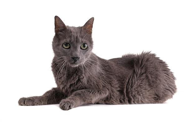Gatto grigio vintage 19 anni isolato