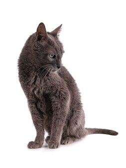 Gatto grigio vintage 19 anni su sfondo bianco