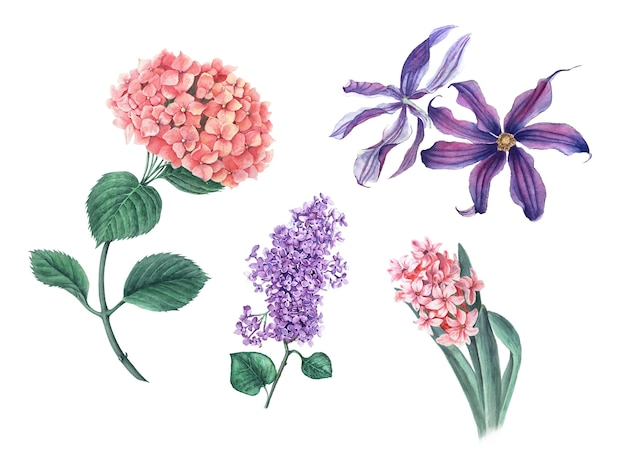 Set vintage di ortensie rosa, lilla, clematide e illustrazione botanica dell'acquerello realistico del giacinto