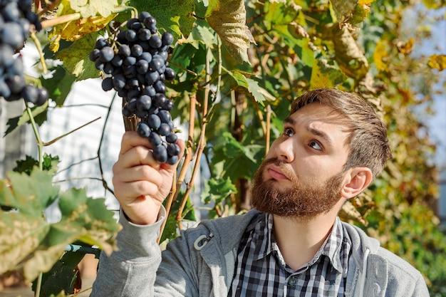 Vintner uomo esaminando le uve durante la vendemmia per il processo di vinificazione