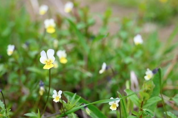 Viola arvense è un'erba selvatica di campo con fiori bianchi gialli in piena fioritura con erba di prato