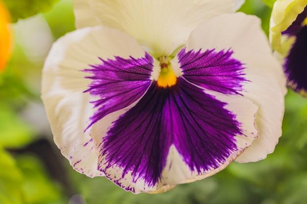 Viola microgreens commestibili, cibo sano crudo vegetariano.