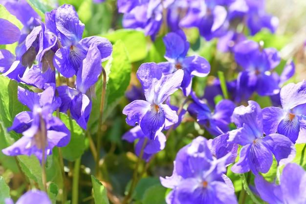 Fiori di viola sull'erba verde e soleggiata