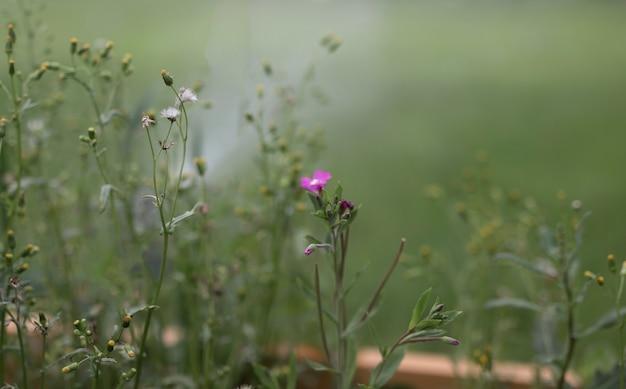 Fiore viola su sfondo sfocato di erba verde con posto per il testo