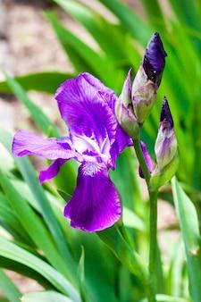 Primo piano viola del fiore dell'iride sul fondo verde del giardino nel giorno soleggiato