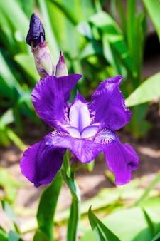 Primo piano viola del fiore dell'iride sul giardino verde nella giornata di sole Foto Premium