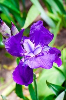 Fiore viola dell'iride sul fondo verde del giardino