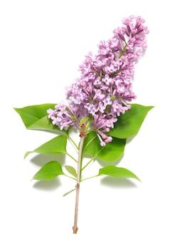 Ramo lilla viola isolato Foto Premium