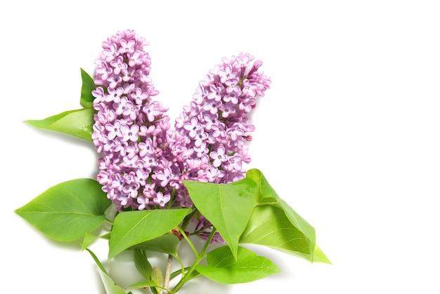 Ramo lilla viola isolato