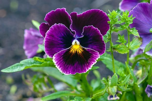 Fiore viola del pensiero viola in giardino