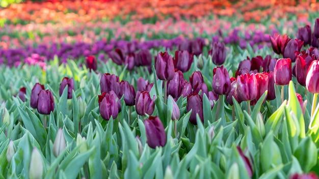 Campi di tulipani viola, rosa e rosso in un giardino fiorito