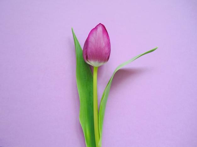 Tulipano viola su sfondo di carta.