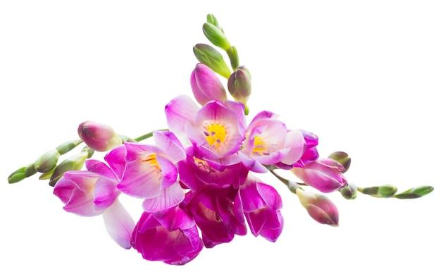 Ramoscello viola di fiori freschi di fresia isolati su bianco