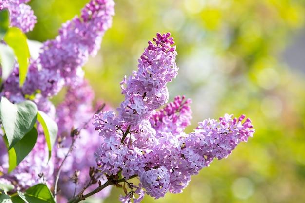 Viola vibrante lilla cespuglio con boccioli in fiore nel giardino primaverile.