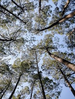 Visione del tronco e della corona dei pini dalla base degli alberi, in spagna, in una giornata di sole.