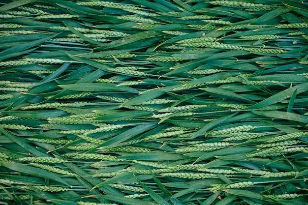 Estate senza cuciture di erba verde e punte vividi.